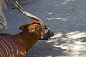 picture of bongo  - Eastern Bongo it is hidden in the shade trees