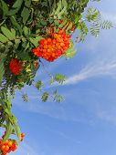 pic of rowan berry  - Autumn red rowan berries on a tree - JPG