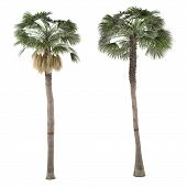 image of washingtonia  - Palm plant tree isolated - JPG