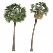 foto of washingtonia  - Palm plant tree isolated - JPG