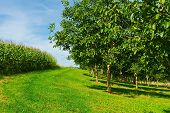 picture of walnut-tree  - Plantation of Corn and Walnut Trees in France - JPG