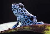 stock photo of tropical rainforest  - Blue strawberry poison dart frog - JPG