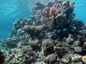 foto of damselfish  - A coral pinnacle with sergeant major damselfish - JPG