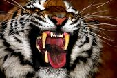 stock photo of tigress  - A closeup of a raging tiger in the night - JPG