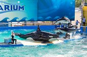 MIAMI,US - DECEMBER 8, 2013:Lolita,the killer whale at the Miami Seaquarium.Founded in 1955,the olde