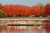 image of flock seagulls  - The Trout Lake swim float in autumn - JPG