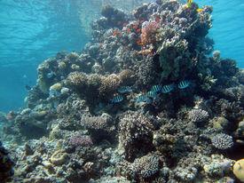 picture of damselfish  - A coral pinnacle with sergeant major damselfish - JPG