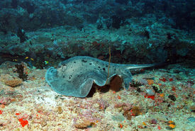 stock photo of stingray  - Black - JPG