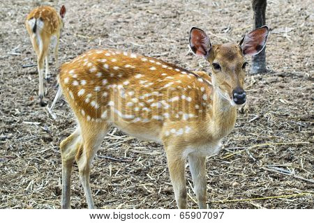 Young Sika Deer And Kid.