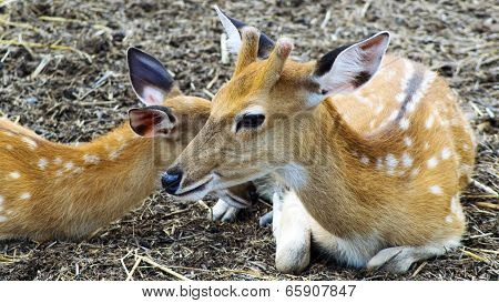 Female Of Sika Deer With Kid.