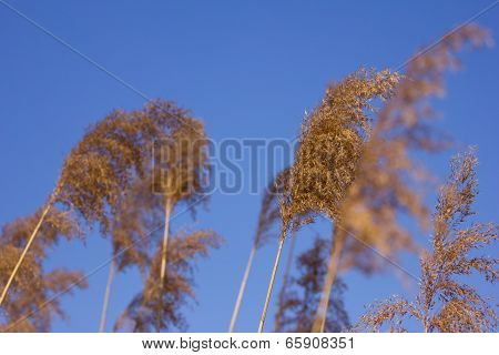 Common Reeds On Windy Day