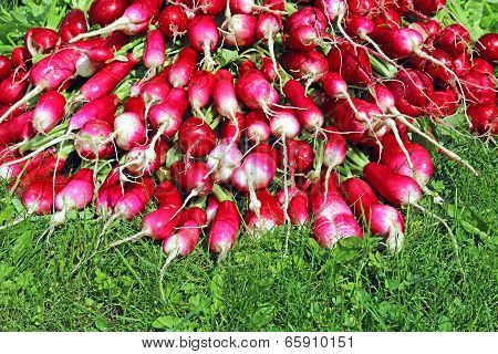 Many Fresh Radish With Leaves