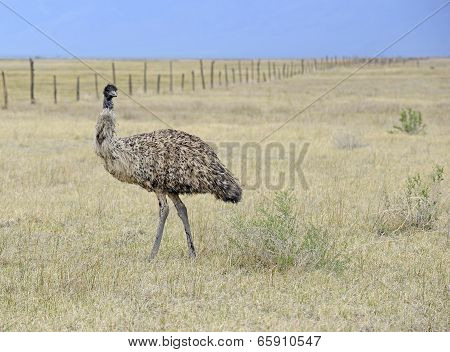 Emu in rural setting