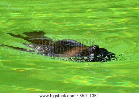 dogfish swims