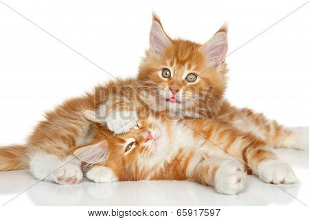 Maine Coon Kittens Playing