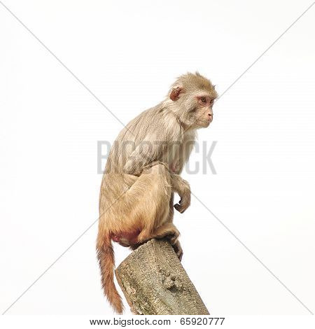 Rhesus Macaque In Close-up During Natural Behavior, Isolated