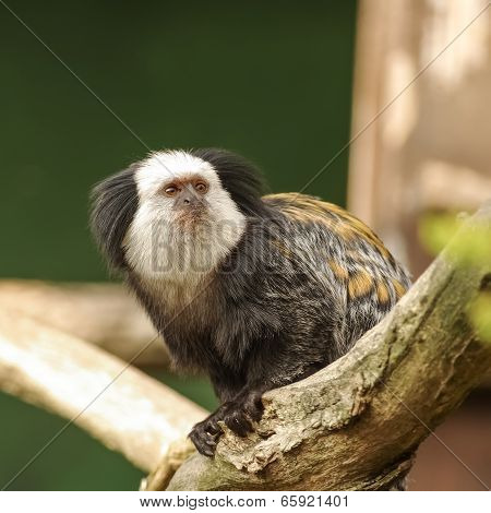 White-fronted Marmoset Sitting At The Tree