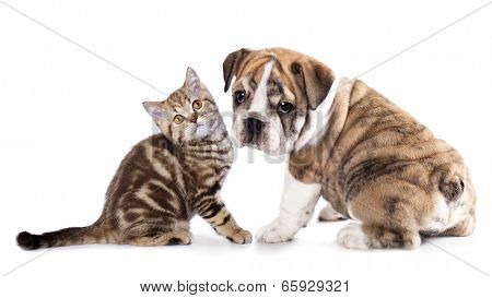 Cat and dog, British kitten and english Bulldog puppy
