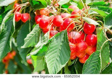 Many Beautiful Rainier Cherries Berries Shiny Bunches