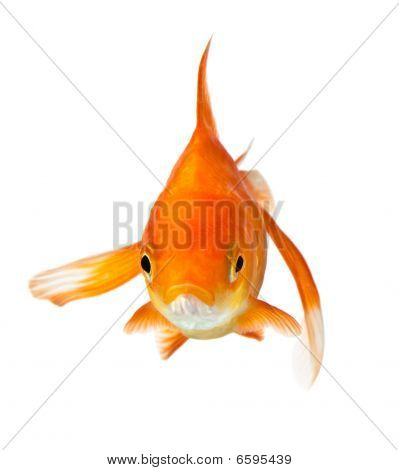 Goldfish On White - Front View