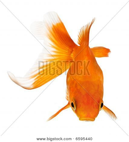 Goldfish View From Above