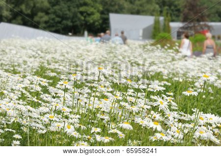 White Daisy Flowers On The Meadow.