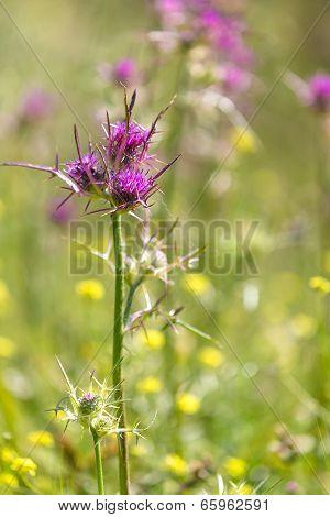 Burdock Flower In The Wild