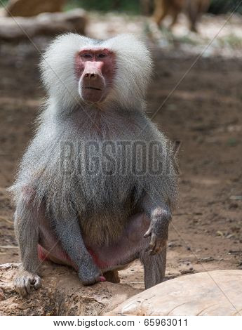 Portrait Of Baboon Monkey Nature