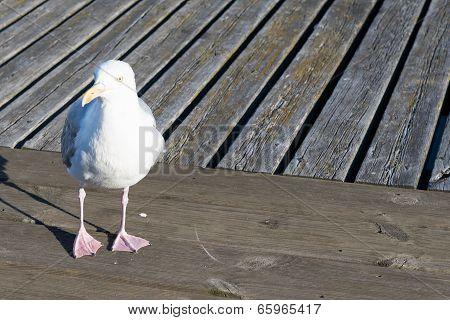 Closeup Of Herring Gull, Larus Argentatus Walking