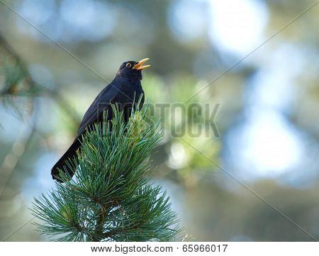 Common blackbird (turdus merula) singing