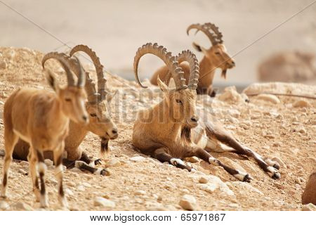 Wild Goats In Nature