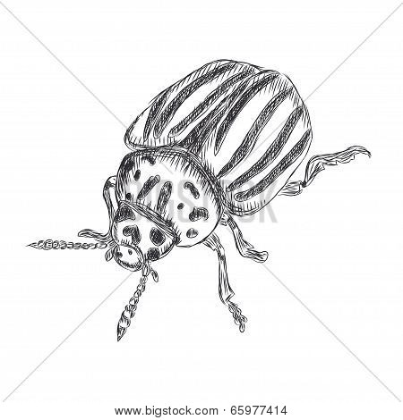 Illustration of Colorado beetle