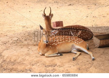 Spotted deer family lying in parks