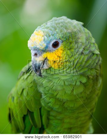 Portrait of green and yellow conure bird