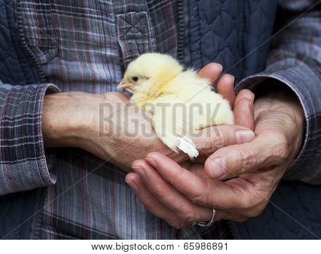 Baby chicken in hand