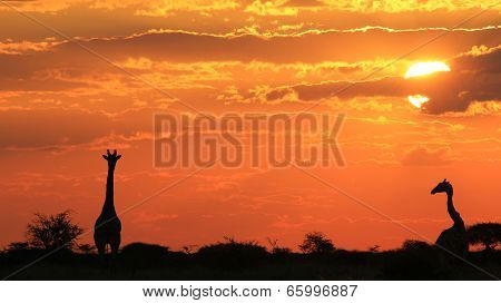 Giraffe Sunset - African Wildlife Background - Golden Beauty an Perfect Tranquility