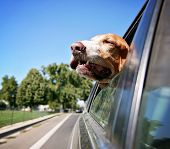 image of basset hound  - a funny basset hound with her head out of a car window - JPG