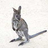 picture of wallabies  - Red - JPG