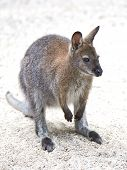 stock photo of wallaby  - Red - JPG