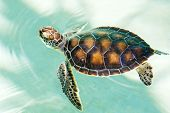 image of hawksbill turtle  - Cute endangered baby turtle swimming in turquoise water - JPG