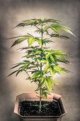 pic of ganja  - Cannabis female plant in flowerpot Indica dominant hybrid in early flowering stage - JPG