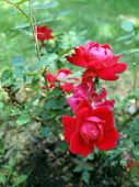 image of knockout  - photo of Knockout Rose bush showcasing it