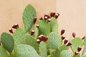 stock photo of prickly pears  - Prickly Pear with Fruit Against a wall in a Horizontal Format - JPG