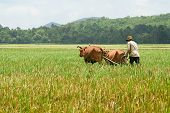 pic of oxen  - A farmer is ploughing on field by couple of ox  on An Giang province - JPG