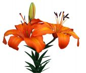 stock photo of asiatic lily  - Orange Asiatic Lily isolated with clipping path - JPG