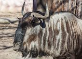 pic of wildebeest  - portrait of wildebeest nature summer sunny day - JPG
