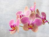 stock photo of yellow orchid  - Pink and yellow phalaenopsis flowers  - JPG