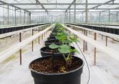 pic of planters  - row of young plants in planters inside a greenhouse - JPG