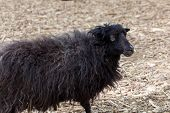 stock photo of suffolk sheep  - young black sheep on summer nature day - JPG