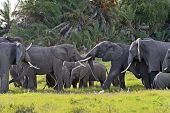 stock photo of kilimanjaro  - Kilimanjaro elephants in Amboseli National Park Kenya - JPG